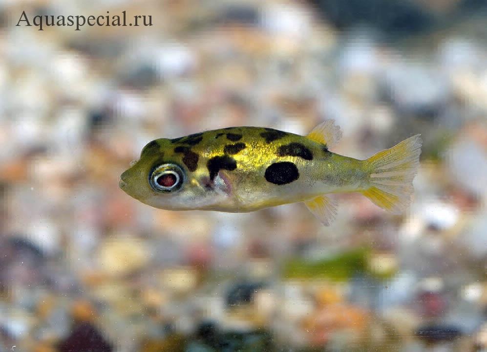 Самые странные и необычные аквариумные рыбки описание с фото. Борнейский тетрадеон