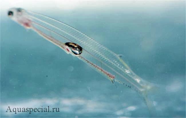 Самые странные и необычные аквариумные рыбки описание с фото. Сундаланс