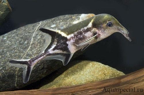 Самые странные и необычные аквариумные рыбки описание с фото. Носатая рыба слон