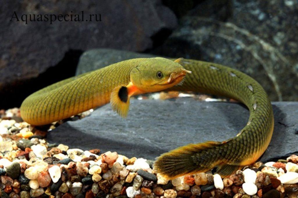 Самые странные и необычные аквариумные рыбки описание с фото. Каламоихт калабарский или рыба змея