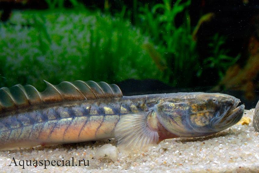 Самые странные и необычные аквариумные рыбки описание с фото. Бычок дракон