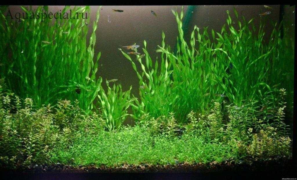 Валлиснерия спиральная описание с фото. Валлиснерия в аквариуме, виды, содержание