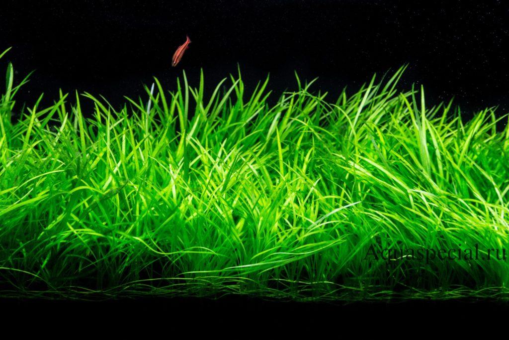 Валлиснерия карликовая или нана в аквариуме фото. Неприхотливое аквариумное растение для начинающих. Как посадить валлиснерию