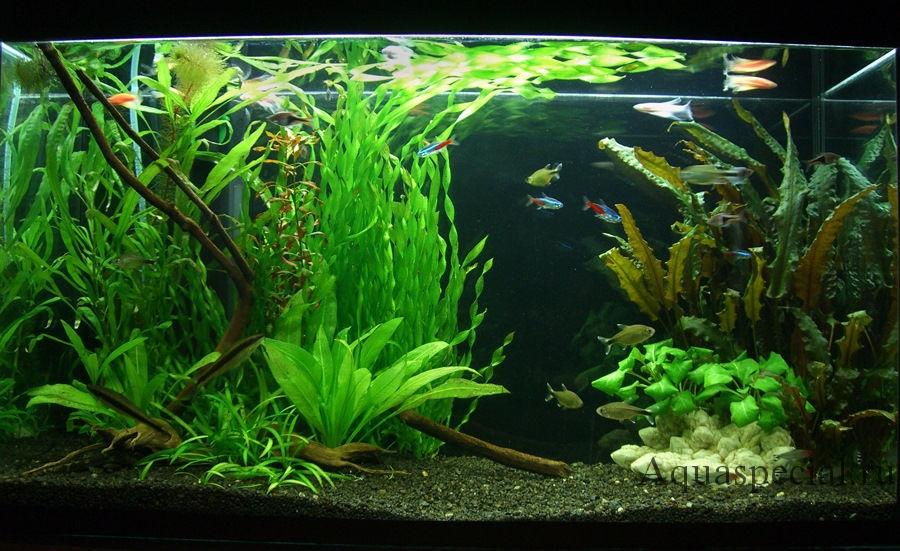 Валлиснерия в аквариуме: виды, содержание, уход, описание с фото. Неприхотливые аквариумные растения заднего плана для начинающих