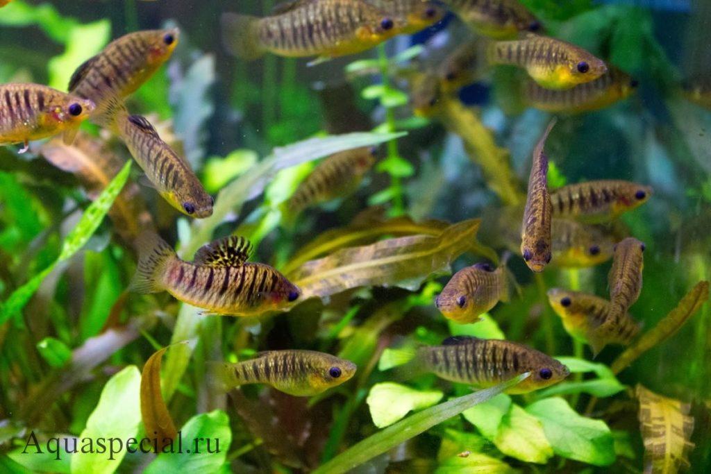 Лимия полосатая семейство пецилиевые. Живородящие рыбки в аквариуме