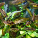 Лимия полосатая семейство пецилиевые