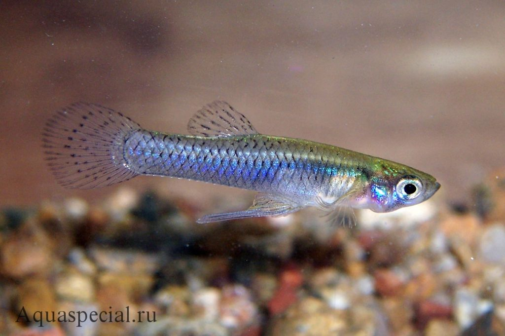 Гамбузия семейство пецилиевых. Живородящие аквариумные рыбки виды