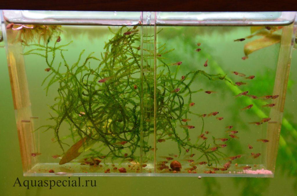 Мальки живородящих рыбок в аквариуме. Нерестовик (отсадник) для мальков живородок