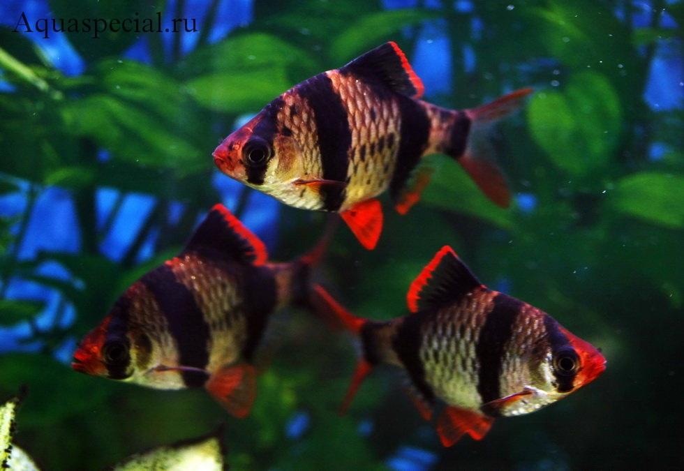Барбус суматранский описание с фото. Рыбка барбус содержание, разведение, видео в аквариуме