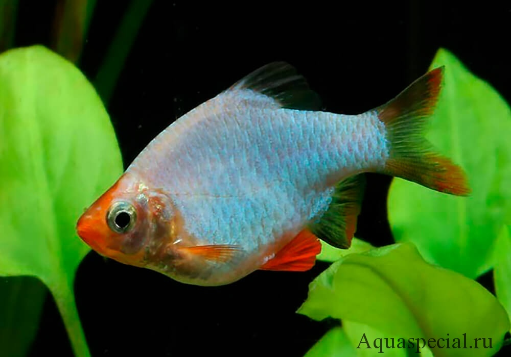 Барбус зеленая платина описание с фото. Виды суматранского барбуса, содержание, разведение в аквариуме