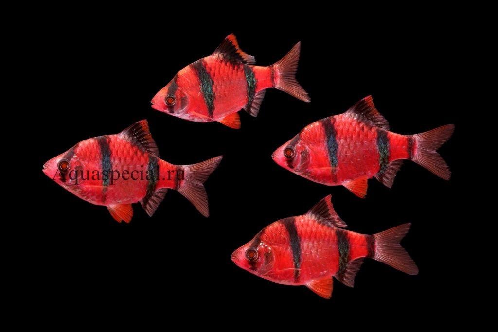 Барбус суматранский глофиш красный. Барбус гло фиш селекционные виды.