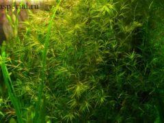Наяс (наяда) в аквариуме описание с фото, содержание, уход