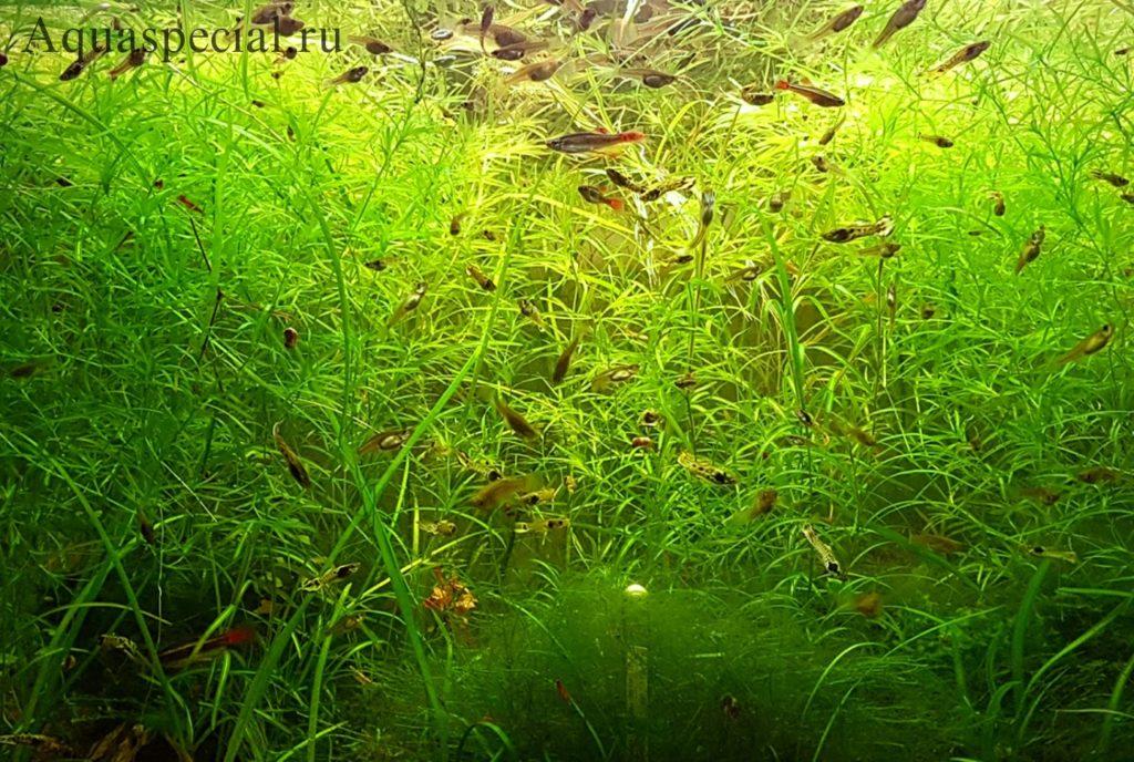 Наяс травянистый описание с фото. Наяда в аквариуме. Неприхотливые плавающие аквариумные растения