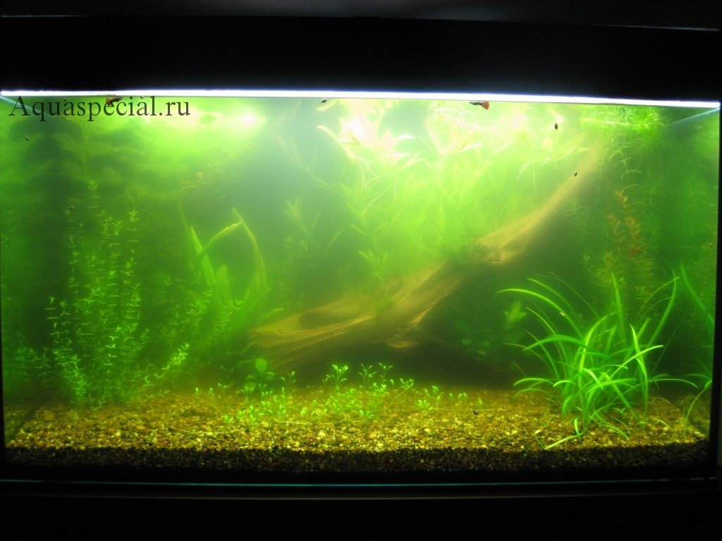 Мутная вода в аквариуме, муть в аквариуме, быстро мутнеет вода почему. Цветет вода в аквариуме. Зеленые водоросли в аквариуме