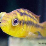Пучеглазие у рыб. Болезни глаз у рыб. Как лечить пучеглазие. Экзофтальм