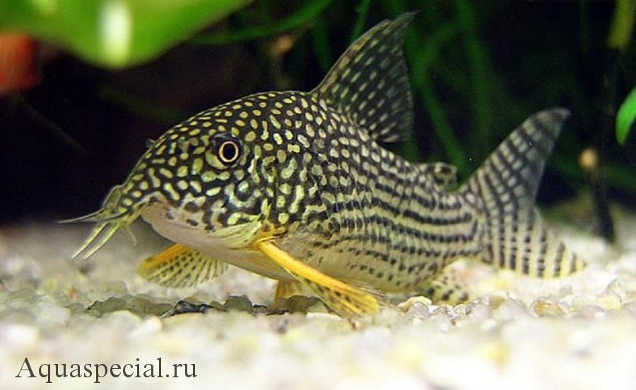 Коридорас описание, виды, уход и содержание. Сом коридорас в аквариуме. Сомик коридорас фото