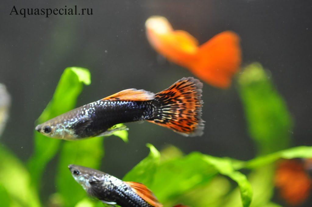 Плавниковая гниль  у аквариумных рыбок, профилактика болезни, уход за рыбками
