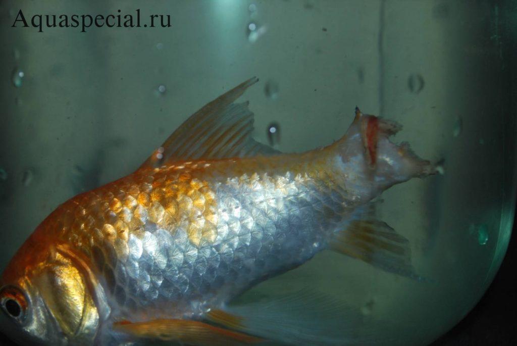 Плавниковая гниль у золотой рыбки, лечение пошагово в общем аквариуме