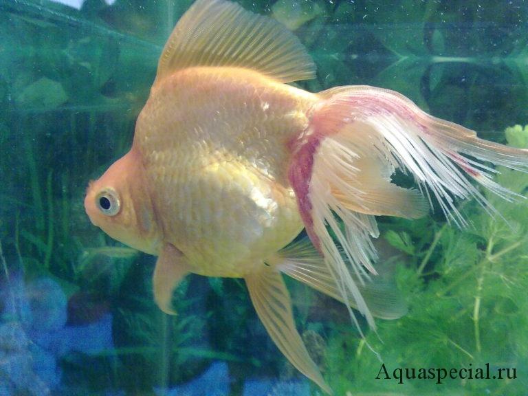 У золотой рыбки плавниковая гниль, покраснел плавник у рыбы, как лечить плавниковую гниль