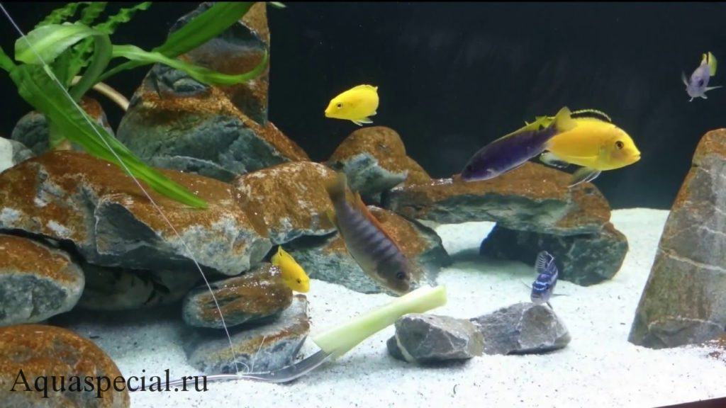 Бурые водоросли в аквариуме. Бурый налет в аквариуме. Коричневый налет в аквариуме, причины, как бороться. Диатомовые водоросли