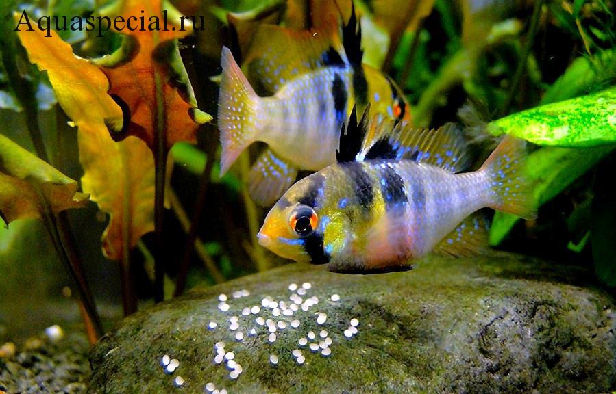 Апистограмма рамирези нерест в общем аквариуме. Хромис бабочка электрик блю. Цихлида бабочка размножение