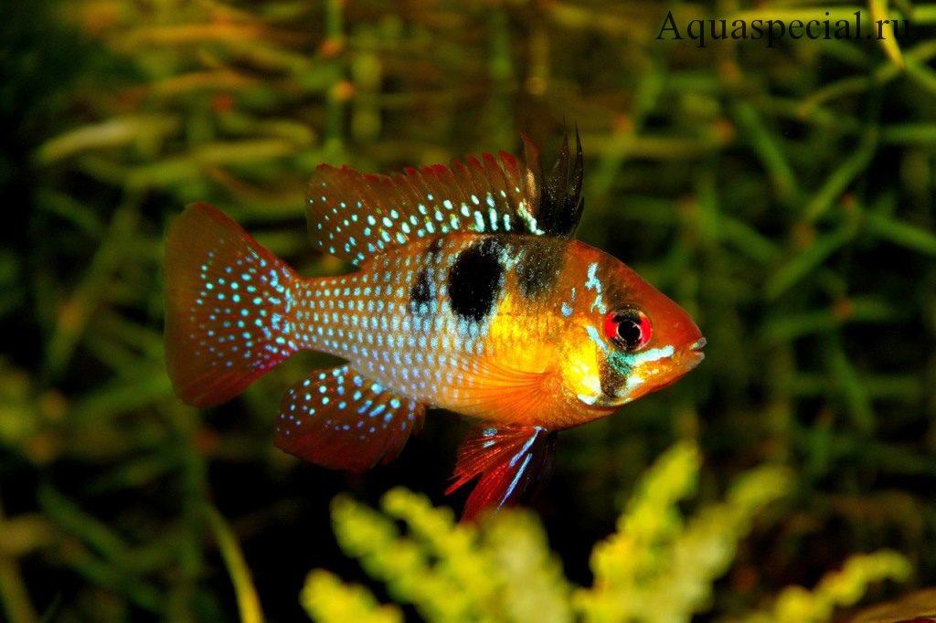 Апистограмма рамирези или хромис бабочка содержание в аквариуме. Карликовые цихлиды уход