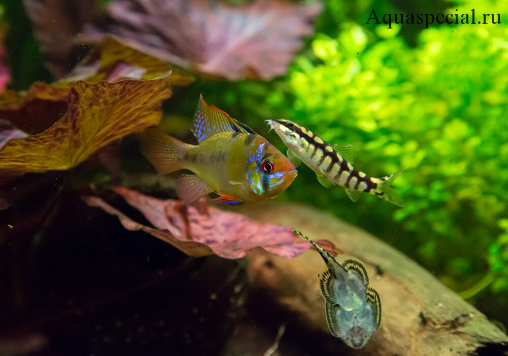Апистограмма рамирези или хромис бабочка в общем аквариуме с бефортией и боцией. Апистограмма рамирези совместимость. Фото апистограммы в аквариуме