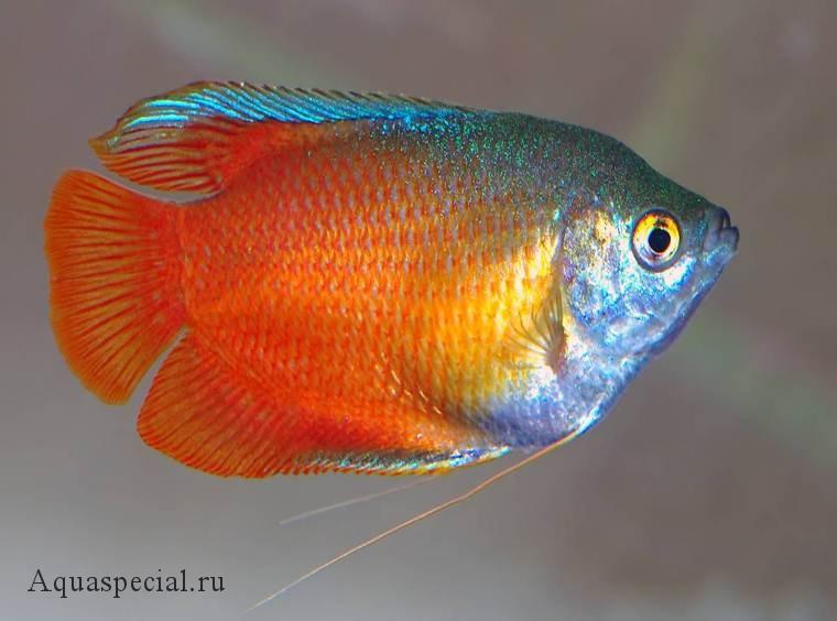 Лялиус неоновый красный фото. Лялиус виды, содержание в аквариуме