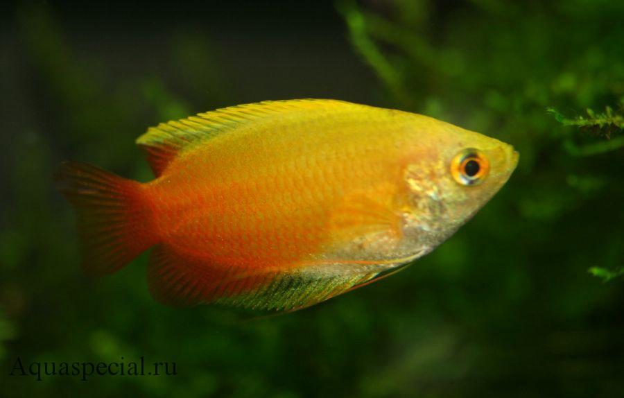 Лялиус желтый нано. Лялиус виды. Лялиус содержание в аквариуме, уход, разведение