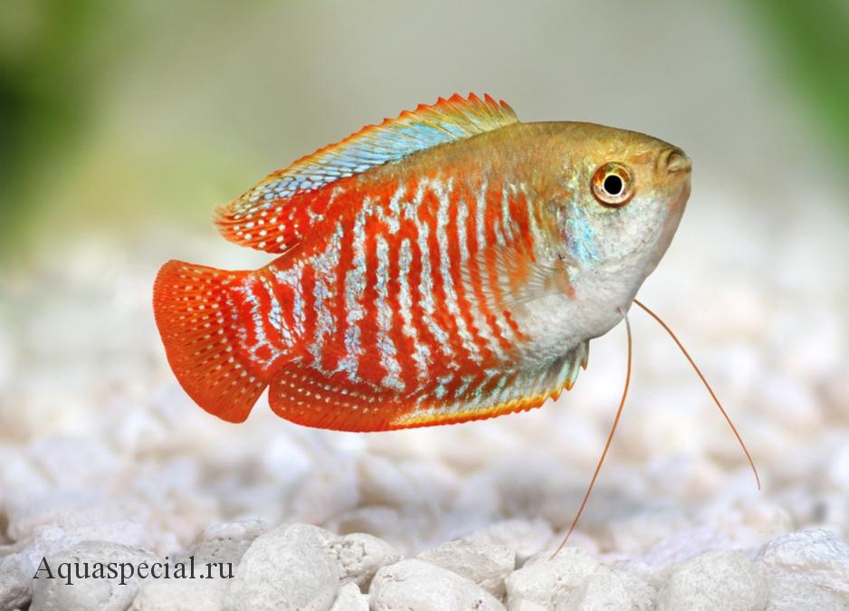 Коралловый лялиус. Радужный лялиус фото