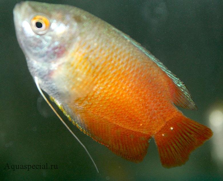 Болезни лялиусов. Болезни аквариумных рыб. Ихтиофтириоз или манка