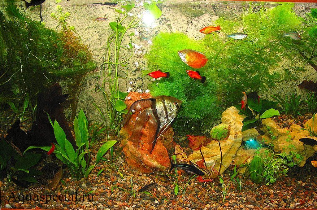 Лялиус в аквариуме. Лялиус совместимость с другими рыбками. Скалярия