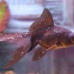 Ихтиофтириоз или манка у аквариумных рыб причины, симптомы, лечение в общем аквариуме. Манка у золотой рыбки