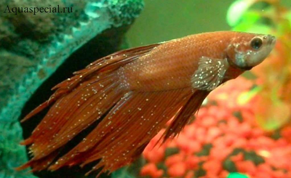 Ихтиофтириоз или манка у петушка лечение в общем аквариуме