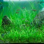 Эхинодорус нежный или карликовая амазонка. Эхинодорус рубра или теннелус содержание в аквариуме, содержание в нано аквариуме