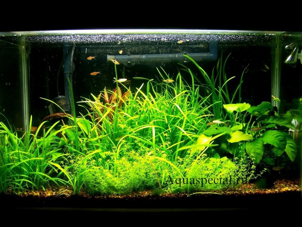 Эхинодорус нежный или эхинодорус рубра в нано аквариуме уход и содержание