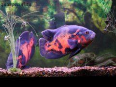 Астронотус в аквариуме, содержание цихлиды, размножение, виды