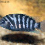 Цихлазома чернополосая, содержание в аквариуме, размножение