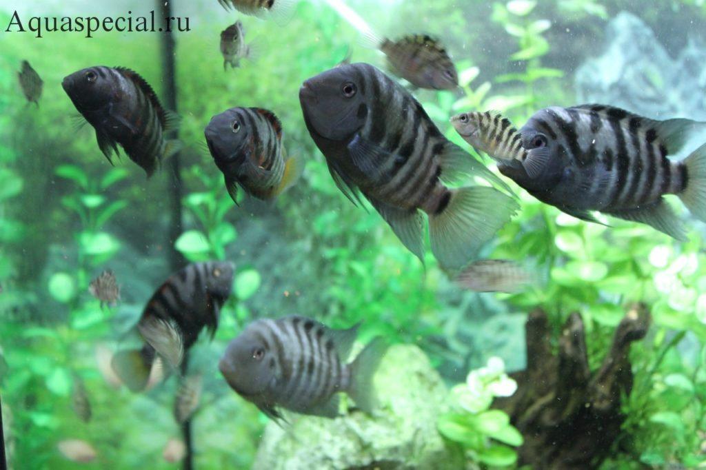 Содержание в аквариуме цихлазомы чернополосой
