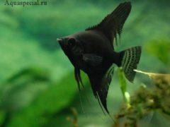 Скалярия черная бархатная, описание, содержание, размножение