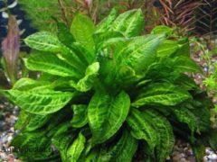 Эхинодорус тропика или эхинодорус мелкоцветный содержание в аквариуме, фото