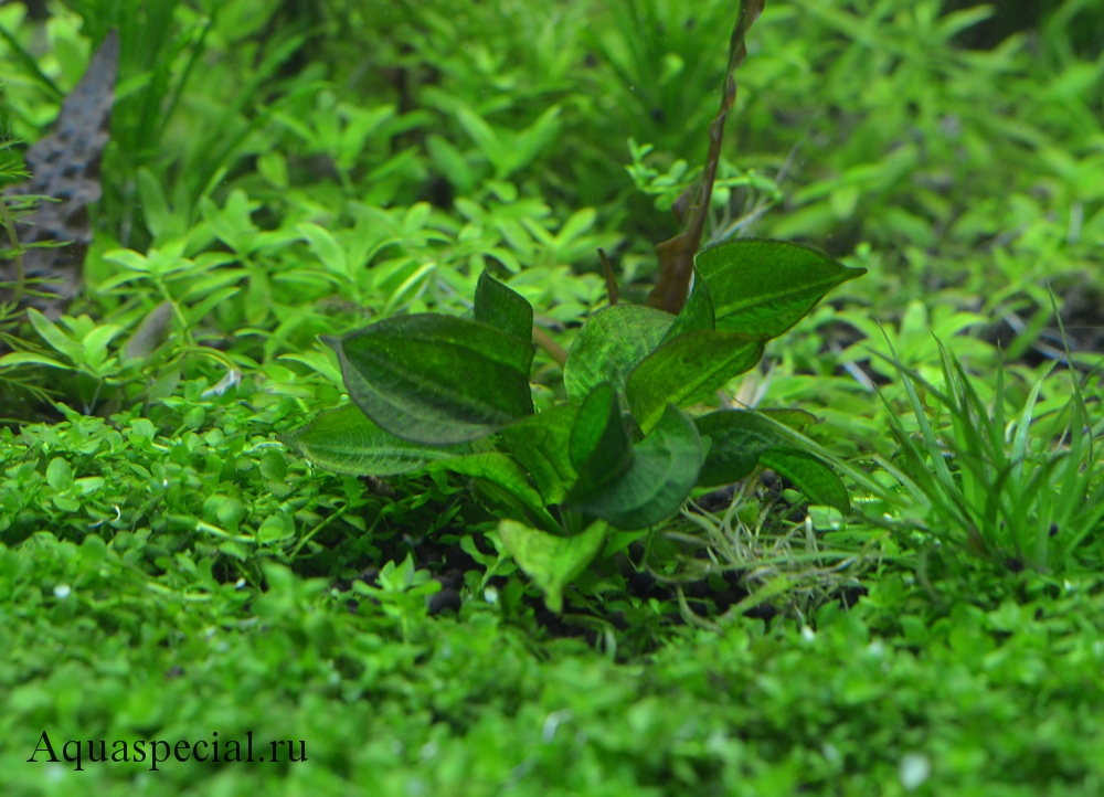 Эхинодорус парвифлорус фото. Размножение
