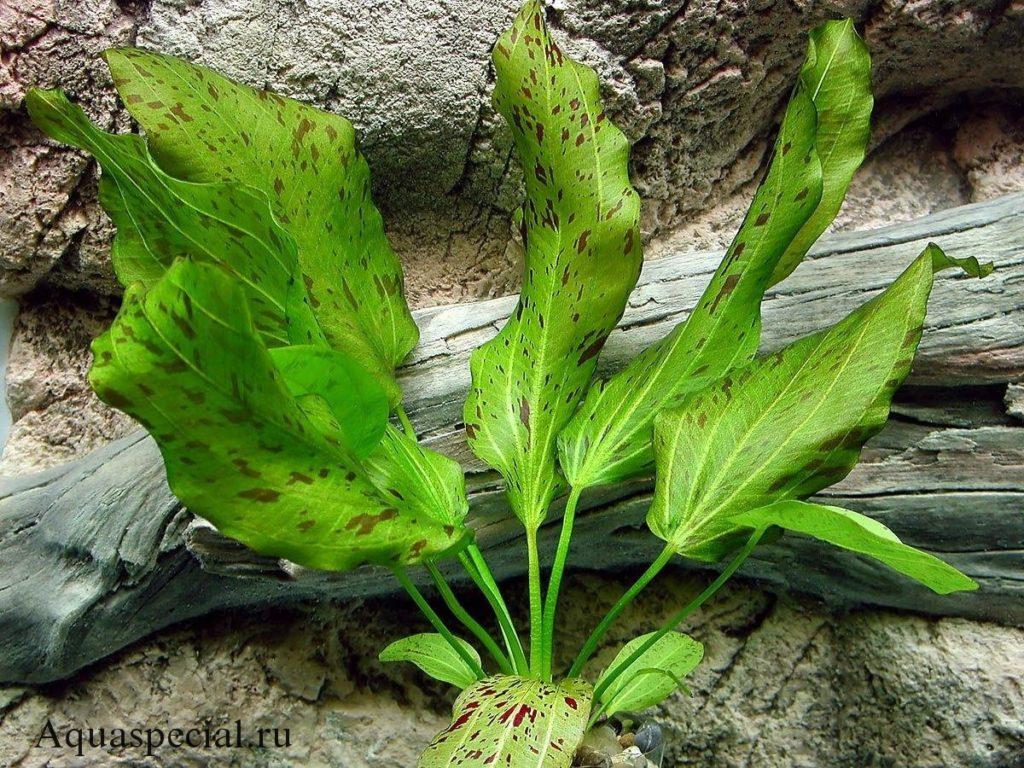 Эхинодорус оцелот зеленый содержание в аквариуме, фото