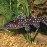 Синодонтис содержание в аквариуме, разведение, виды