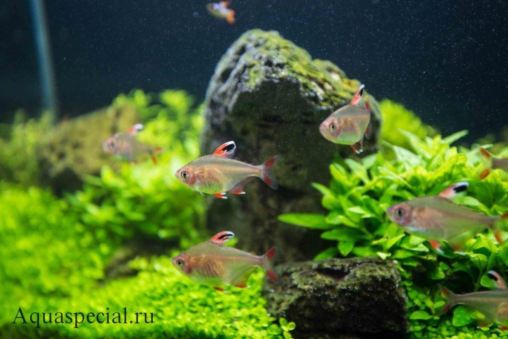 Стайка орнатусов в общем аквариуме фото