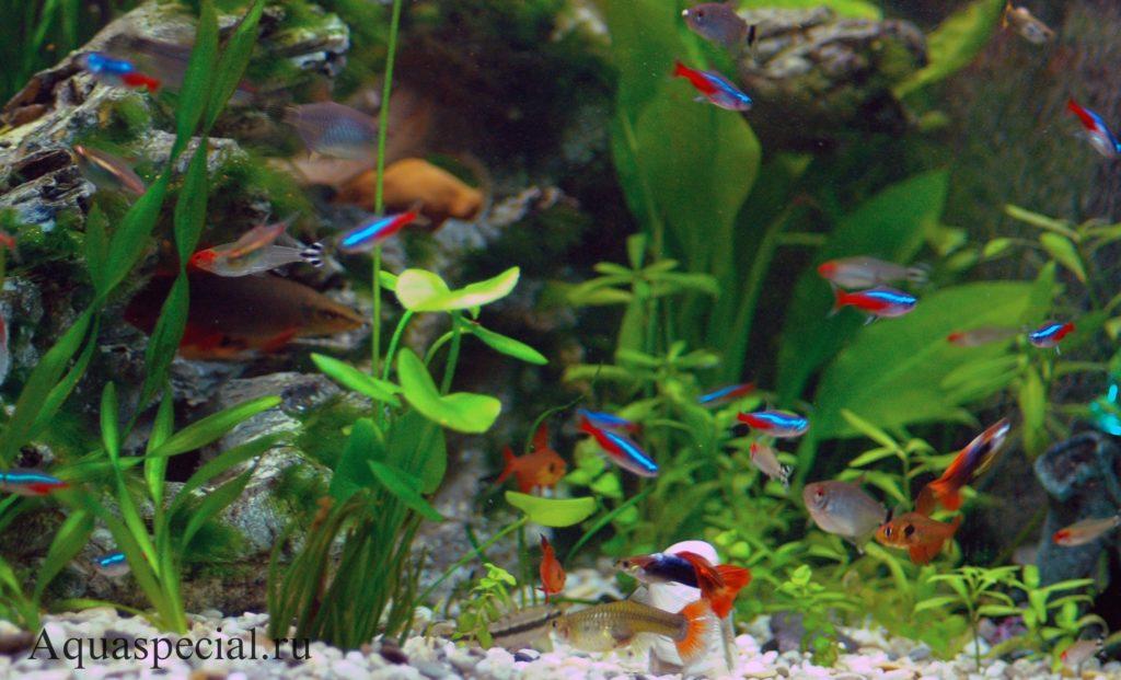 Орнатус в общем аквариуме с гуппи и неонами фото. Совместимость орнатусо