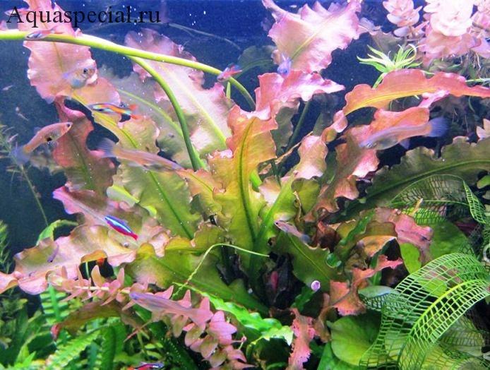 Содержание апоногетона в аквариуме, виды, разведение