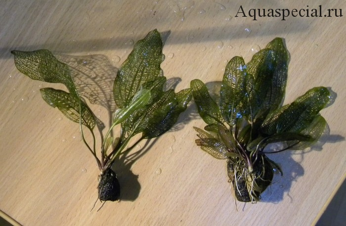 Апоногетон мадагаскарский корневая система и размножение
