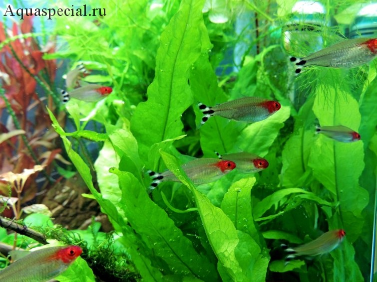 Красноносая тетра или родостомус в аквариуме фото