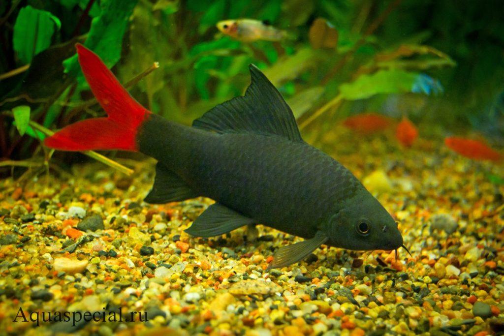 Лабео содержание в аквариуме и уход, виды, размножение